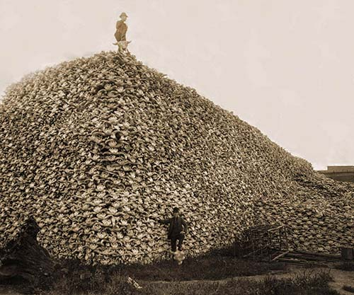 Bison skulls to be used for fertilizer, 1870