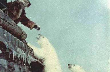 Feeding polar bears from a tank, 1950