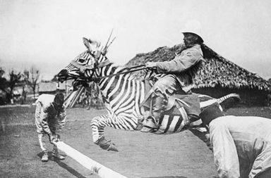When people tried to domesticate zebras, 1890-1940