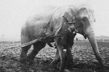When elephants were used to aid the war effort, 1914-1945